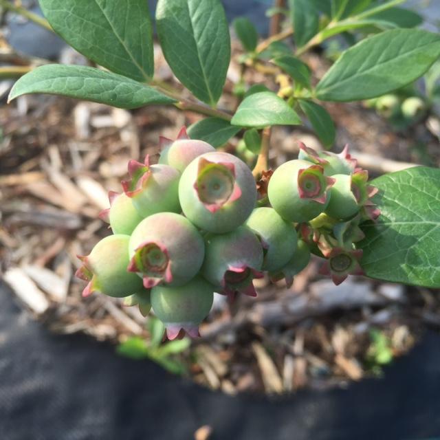 スージーブルーの幼果