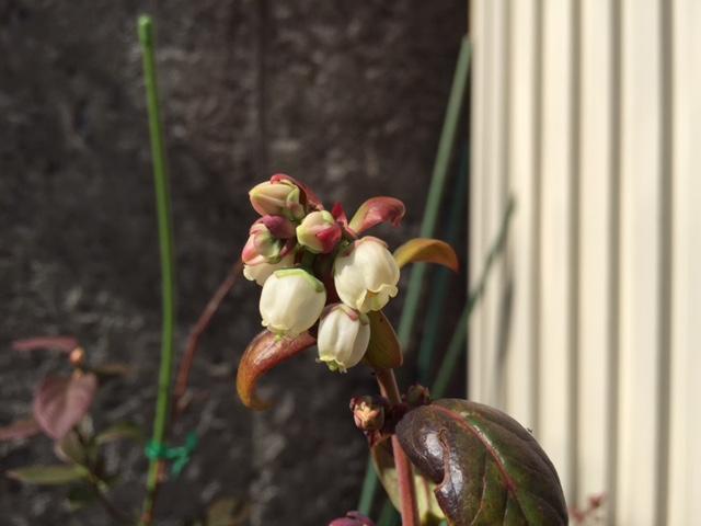 鉢植えも開花